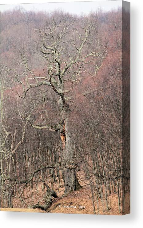Trees Canvas Print featuring the photograph Giant Oak Tree by Carolyn Postelwait