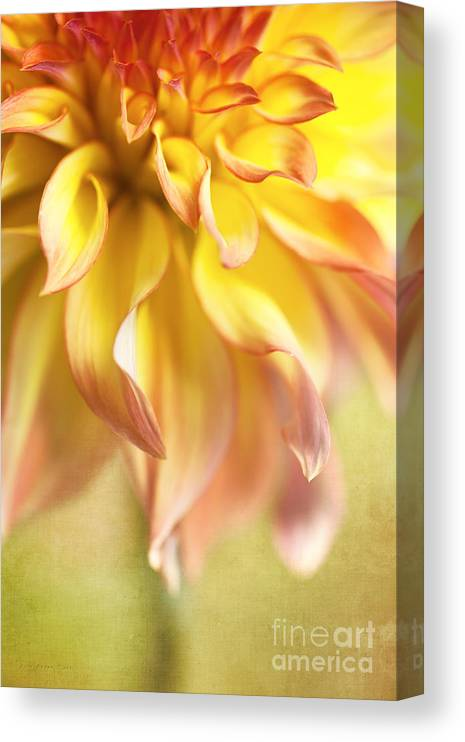 Dahlia Canvas Print featuring the photograph Golden Moments by Beve Brown-Clark Photography