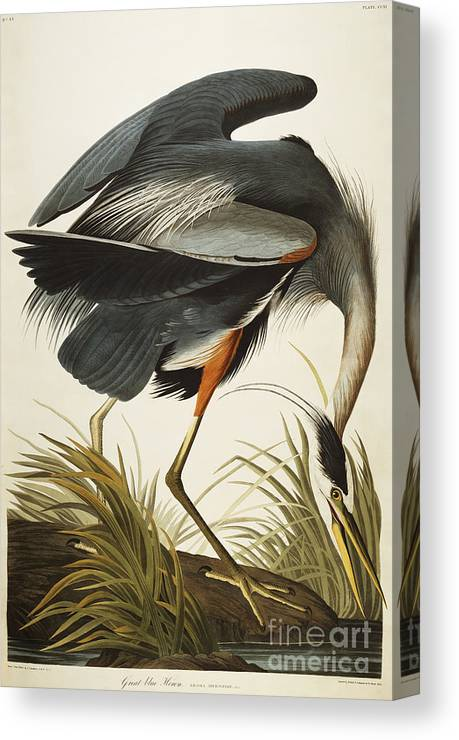 Great Blue Heron Canvas Print featuring the drawing Great Blue Heron by John James Audubon