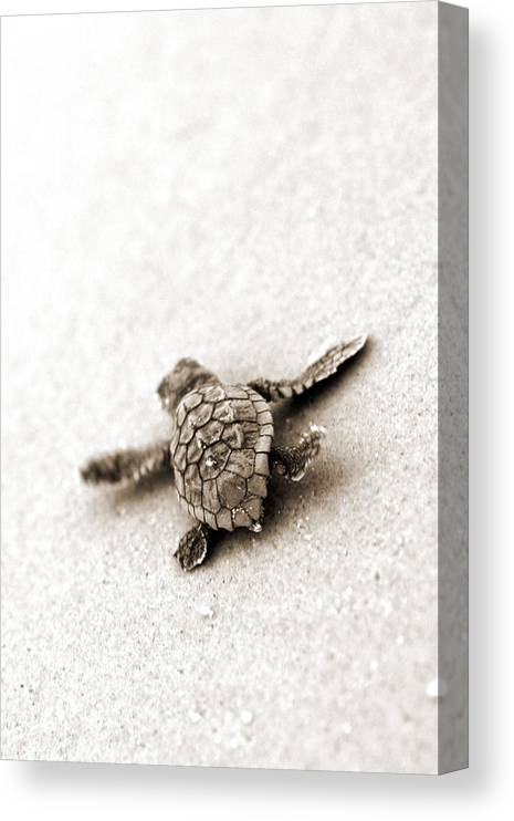 Loggerhead Turtle! Hilton Head Island Canvas Print featuring the photograph Loggerhead by Michael Stothard