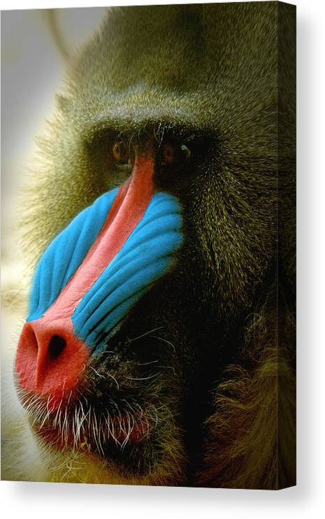 Mandrill Canvas Print featuring the photograph Mandrill by Richard Henne