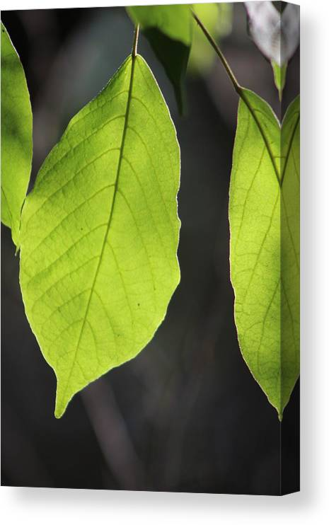Neon Green Canvas Print featuring the photograph Natural Neon Green Leaves by Colleen Cornelius