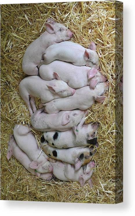 Vertical Canvas Print featuring the photograph Piglets by Rebecca Richardson