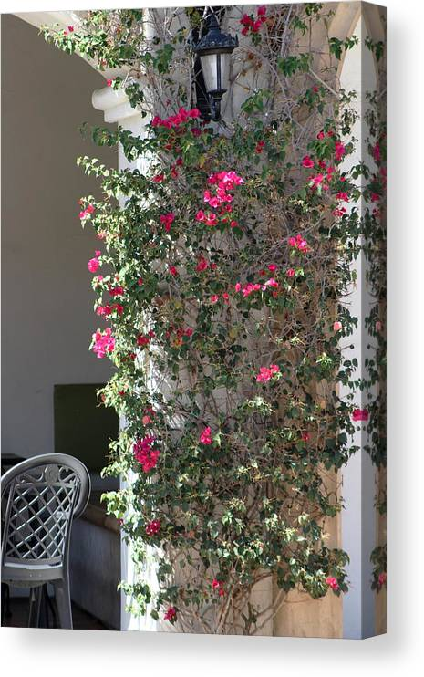 Pink Peacock Canvas Print featuring the photograph Pink Peacock Colored Bougainvillea Blossoms Climbing Pillar by Cafe by Colleen Cornelius