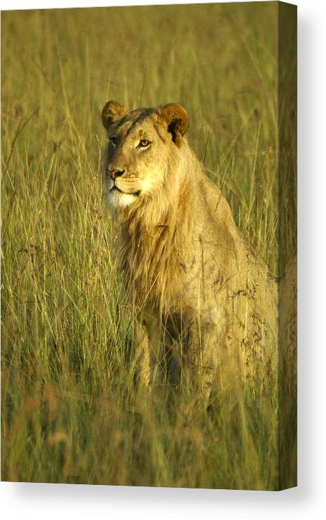 Africa Canvas Print featuring the photograph Princely Lion by Michele Burgess