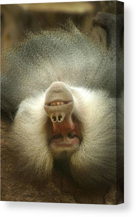 Baboon Canvas Print featuring the photograph Reclining Baboon by Richard Henne