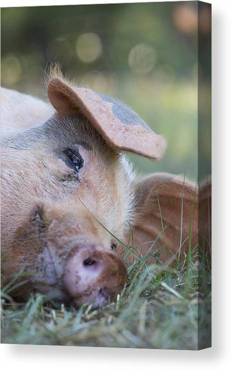 Hog Canvas Print featuring the photograph Thelma Lou by Keith May