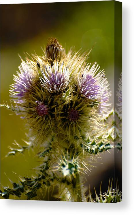 Thistles Canvas Print featuring the photograph Thistles by Richard Henne