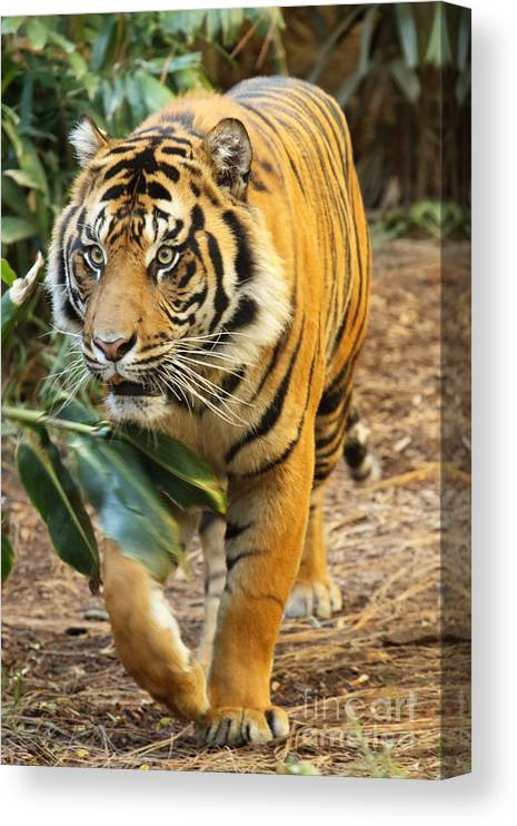 Tiger Canvas Print featuring the photograph Tiger Approaching by Max Allen