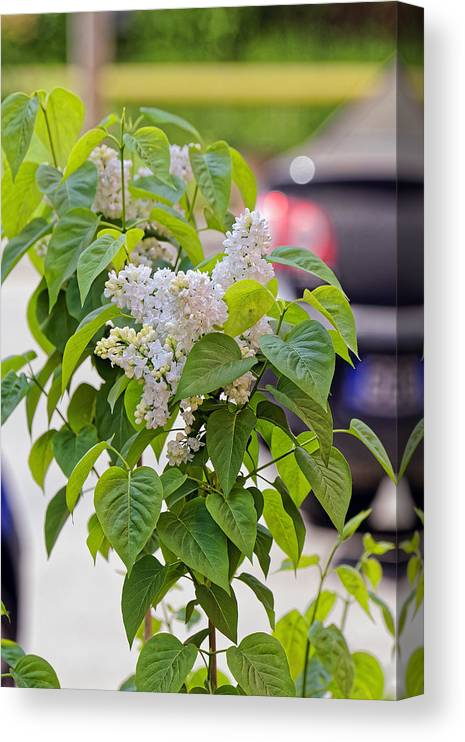 Beautiful Canvas Print featuring the photograph White Lilac Flower by Adrian Bud