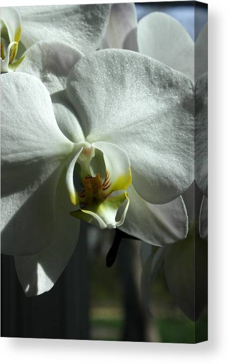 White Orchid Canvas Print featuring the photograph White Orchid in spring by David Bearden