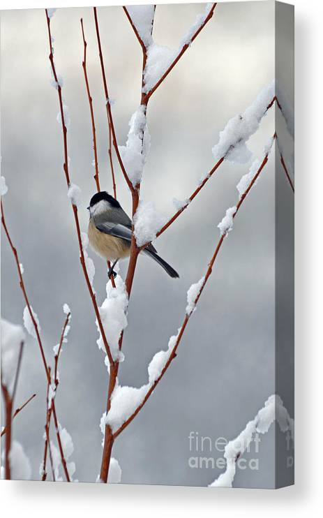 Berry Canvas Print featuring the photograph Winter Chickadee by Diane E Berry