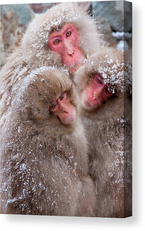 Vertebrate Canvas Print featuring the photograph Japanese Macaques, Japanese Alps by Mint Images/ Art Wolfe