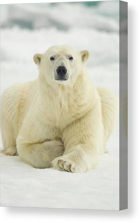 Dawn Canvas Print featuring the photograph Polar Bear, Svalbard, Norway by Paul Souders