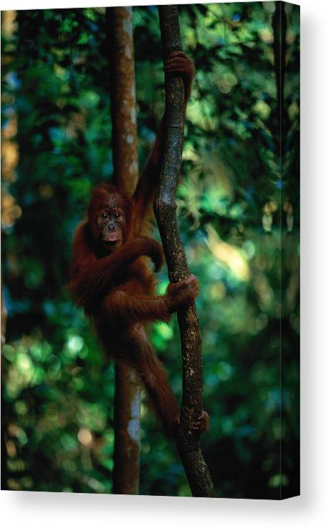 Southeast Asia Canvas Print featuring the photograph Young Sumatran Orangutan Pongo Pongo by Art Wolfe