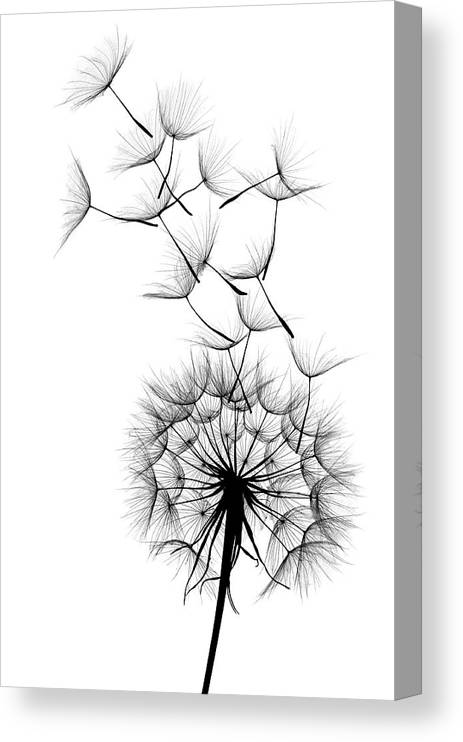 Wind Canvas Print featuring the photograph Dandelion by Sunnybeach