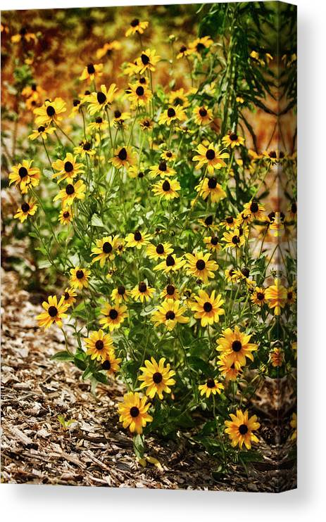 Rockville Canvas Print featuring the photograph A Group Of Bossoming Black-eyed Susans by Maria Mosolova