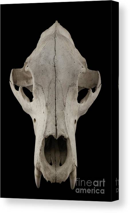 Animal Skull Canvas Print featuring the photograph Bear Skull Isolated On A Black by Satirus