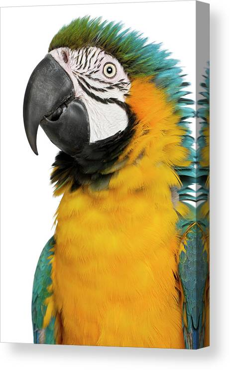 Macaw Canvas Print featuring the photograph Blue And Yellow Macaw, Ara Ararauna by Life On White