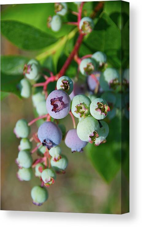 Large Group Of Objects Canvas Print featuring the photograph Blueberries by ©howd, Howard Lau