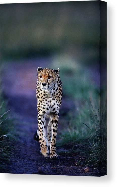 Kenya Canvas Print featuring the photograph Cheetah Acinonyx Jubatus by Anup Shah