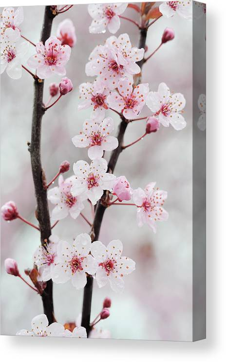 Cherry Canvas Print featuring the photograph Cherry Plum Purple Plum Pink Flowers On by Martin Ruegner