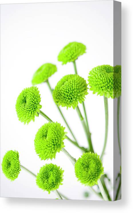 White Background Canvas Print featuring the photograph Chrysanthemum Flowers by Nicholas Rigg