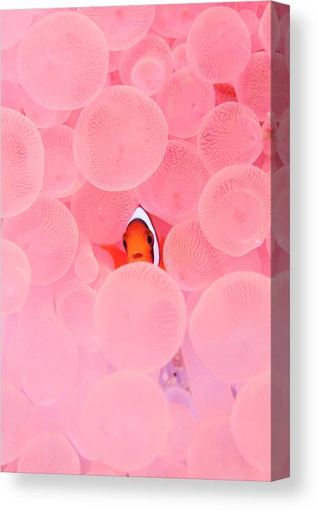 Underwater Canvas Print featuring the photograph Clownfish In Corals by Yusuke Okada/a.collectionrf