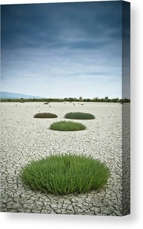 Grass Canvas Print featuring the photograph Clumps Of Grass Growing Through Cracked by David Duchemin / Design Pics