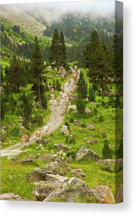 Catalonia Canvas Print featuring the photograph Cows Walking In Catalan Pyrenees by Gonzalo Azumendi