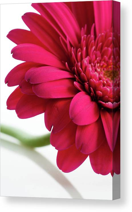 Flowerbed Canvas Print featuring the photograph Gerbera Daisy by Subman