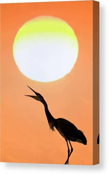 Animal Themes Canvas Print featuring the photograph Great Blue Heron, Screeching, Sunset by Mark Newman