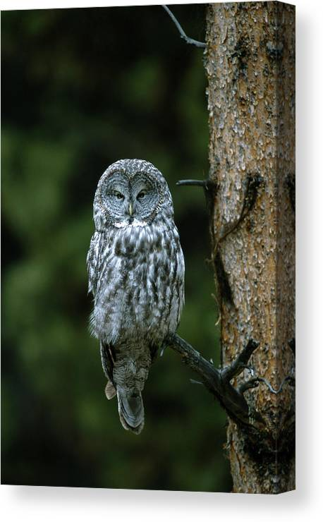 Great Gray Owl Canvas Print featuring the photograph Great Gray Owl Strix Nebulosa On Perch by Riccardo Savi