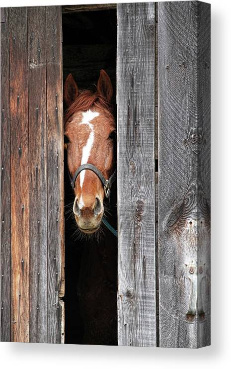 Horse Canvas Print featuring the photograph Horse Peeking Out Of The Barn Door by 2ndlookgraphics