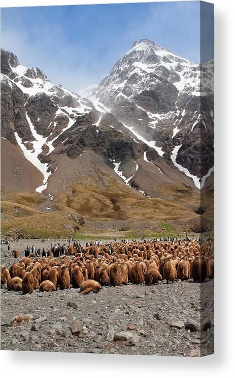 Scenics Canvas Print featuring the photograph King Penguins Aptenodytes Patagonicus by Gabrielle Therin-weise