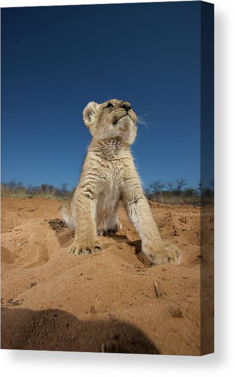 Big Cat Canvas Print featuring the photograph Lion Cub Panthera Leo Sitting On Sand by Heinrich Van Den Berg