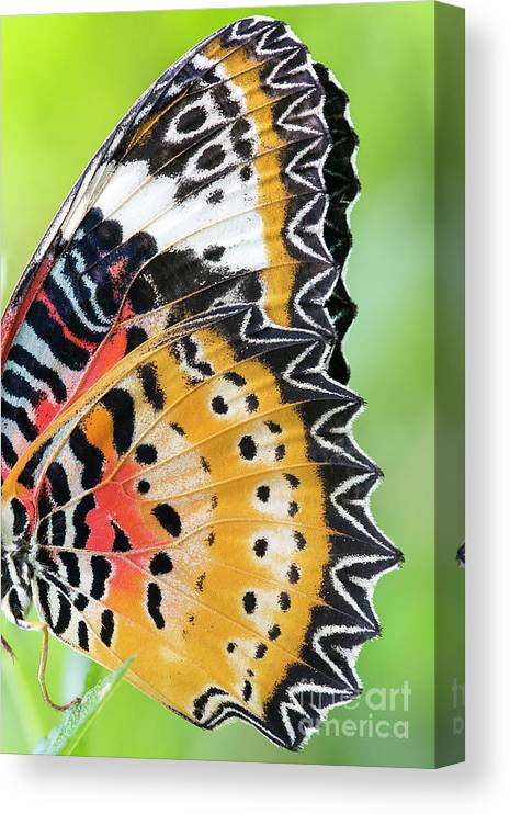 Insect Canvas Print featuring the photograph Macro Close Up Of An Monarch Butterfly by Themorningstudio