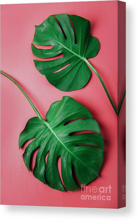 Tranquility Canvas Print featuring the photograph Monstera Leaf On Pink Background by Westend61