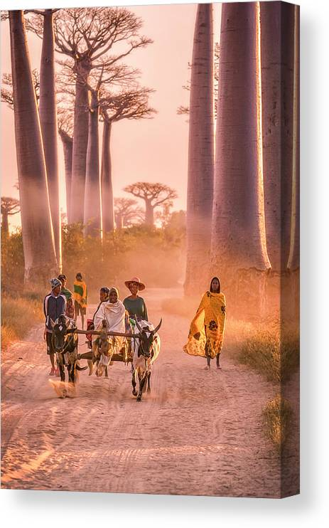 Working Animal Canvas Print featuring the photograph Ox Cart On The Avenue Of The Baobabs by Cultura Rm Exclusive/romona Robbins Photography