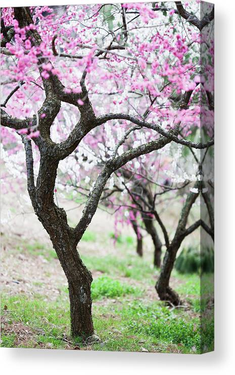Scenics Canvas Print featuring the photograph Plum Blossoms by Ooyoo