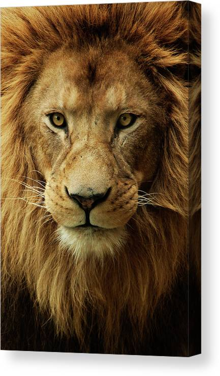 Animal Themes Canvas Print featuring the photograph Portrait Male African Lion by Brit Finucci