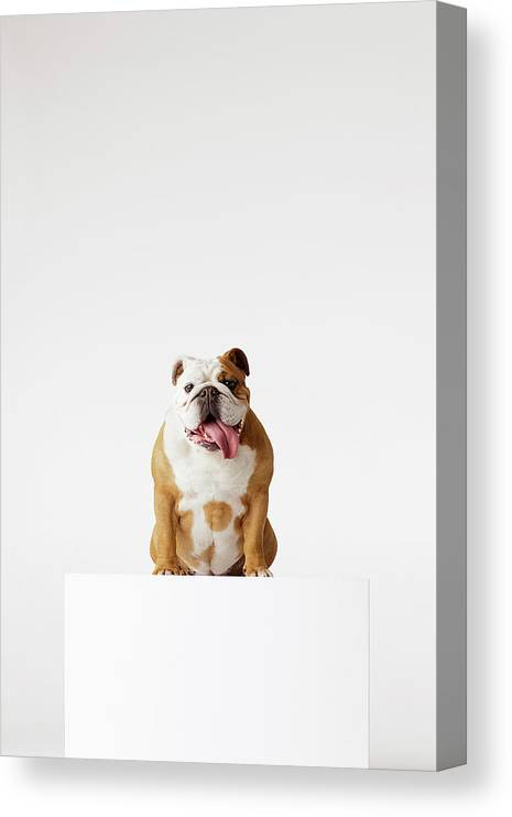 Pets Canvas Print featuring the photograph Portrait Of British Bulldog Sitting by Compassionate Eye Foundation/david Leahy