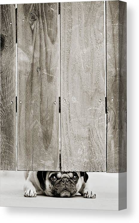 Pets Canvas Print featuring the photograph Pug Face by Aaryn James