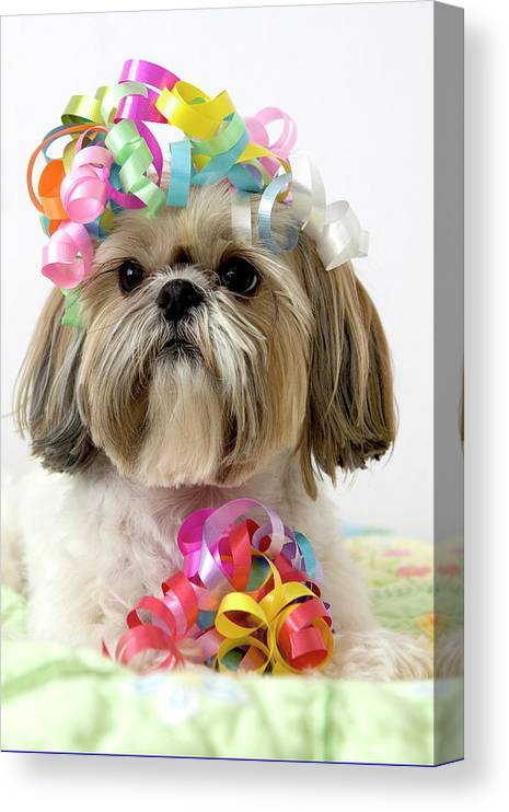 Pets Canvas Print featuring the photograph Shih Tzu Dog by Geri Lavrov