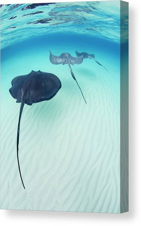 Underwater Canvas Print featuring the photograph Southern Stingray Cayman Isalnds by Justin Lewis