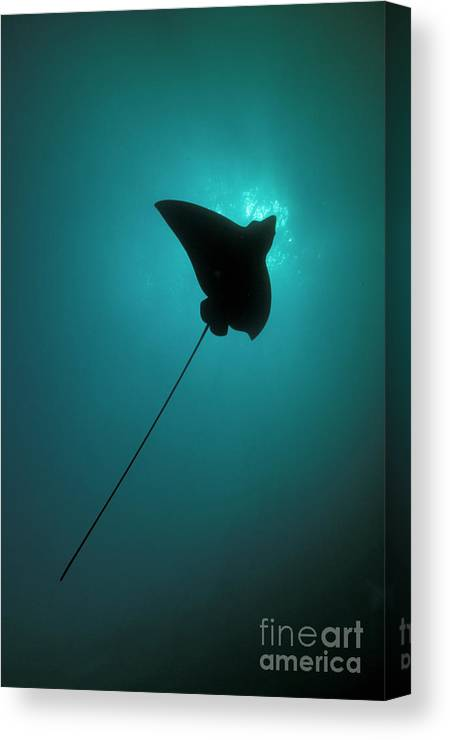 Underwater Canvas Print featuring the photograph Spotted Eagle Ray Silhouetted by Steve Jones/stocktrek Images