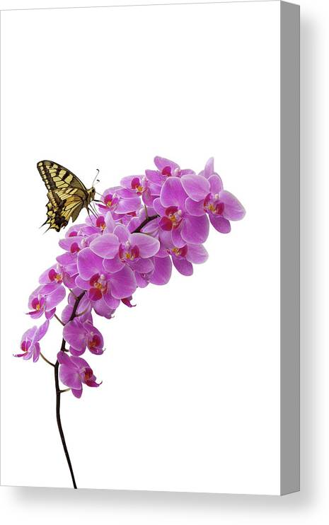 White Background Canvas Print featuring the photograph Swallowtail Butterly On Orchid by Photographerolympus