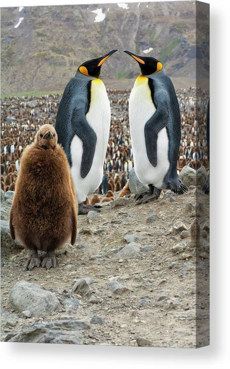 Animals In The Wild Canvas Print featuring the photograph Two King Penguins And A Chick by Gabrielle Therin-weise