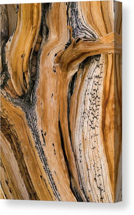 Weathered Canvas Print featuring the photograph Weathered Wood Of Ancient Bristlecone by Kevin Schafer