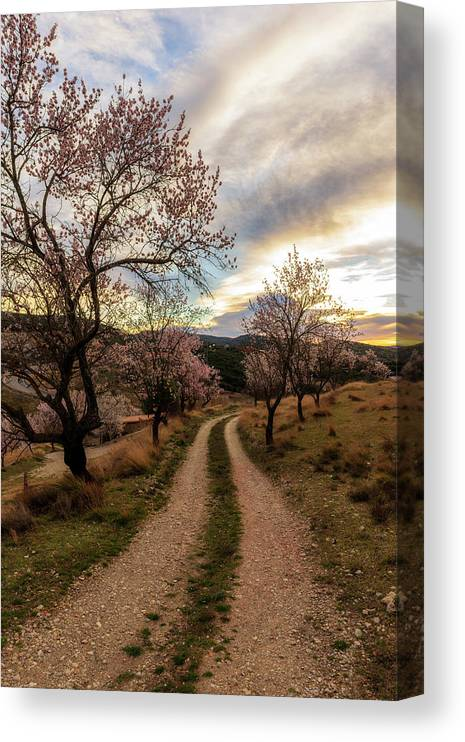 Morella Canvas Print featuring the photograph Path Between Almond Trees In A Beautiful Sunrise by Vicen Photography